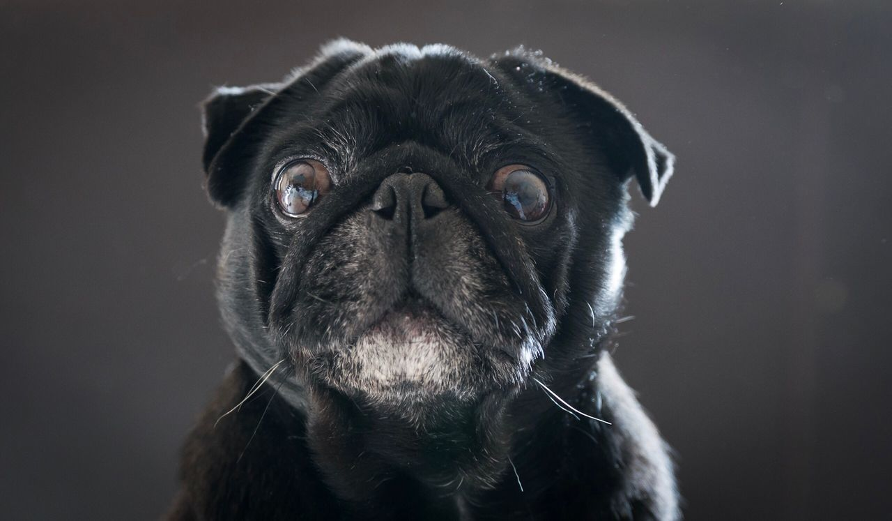 Talking Pets Domestic Animals Dog One Animal Mammal Portrait Animal Themes Close-up Looking At Camera No People Studio Shot Indoors  Day Dogs Of EyeEm Pet Photography  Black Pug Pug Dogs Cute Pets The Portraitist - 2017 EyeEm Awards