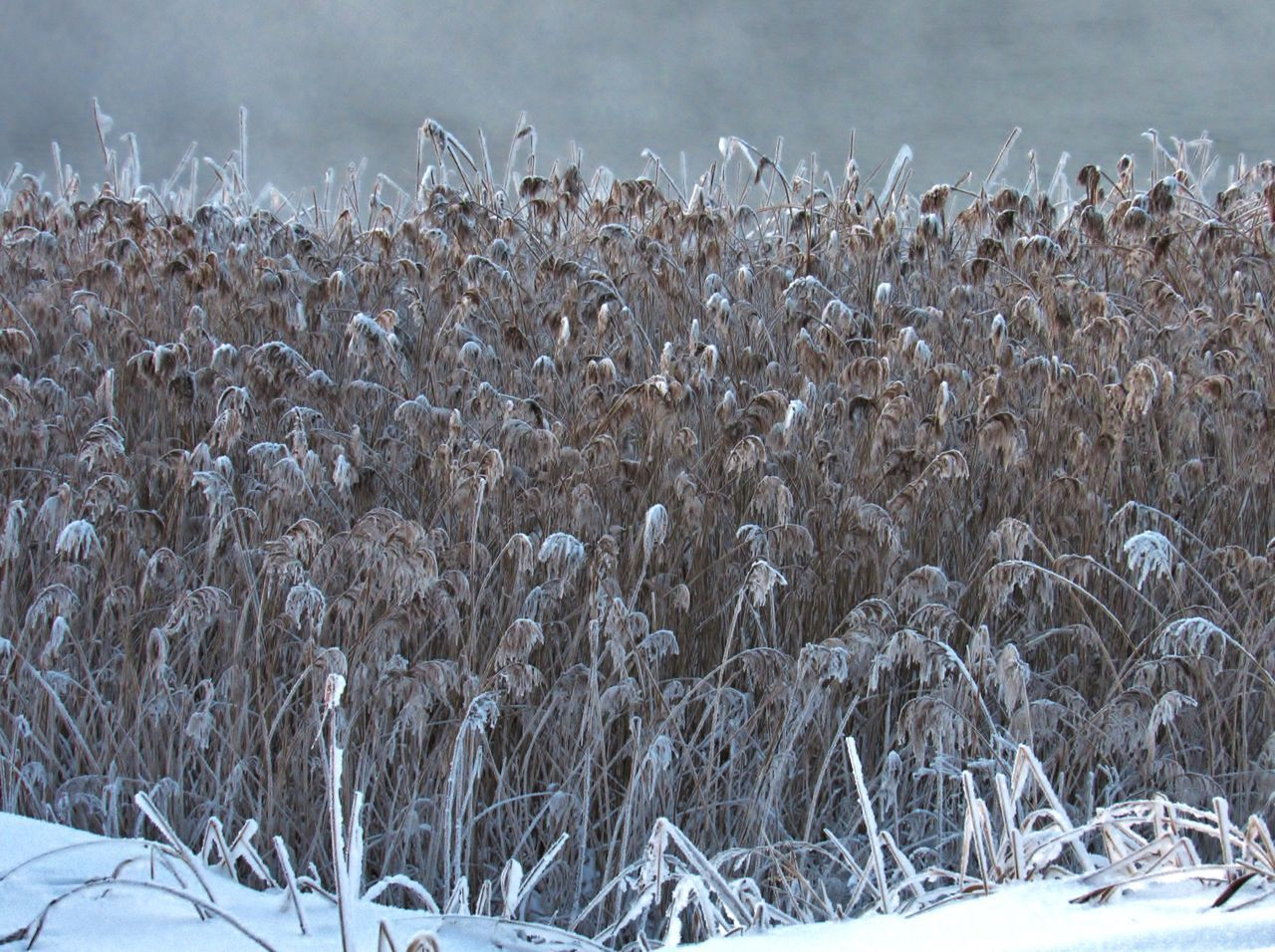 Freezing cane. Beauty In Nature Cane Coast Cold Cold Temperature February Fog Foggy Foggy Morning Freezing Frost Frozen Frozen Nature Melancholic Landscapes Nature Nature Nature Photography Nature_collection No People Outdoors Reeds Riverside Snow Thick Winter