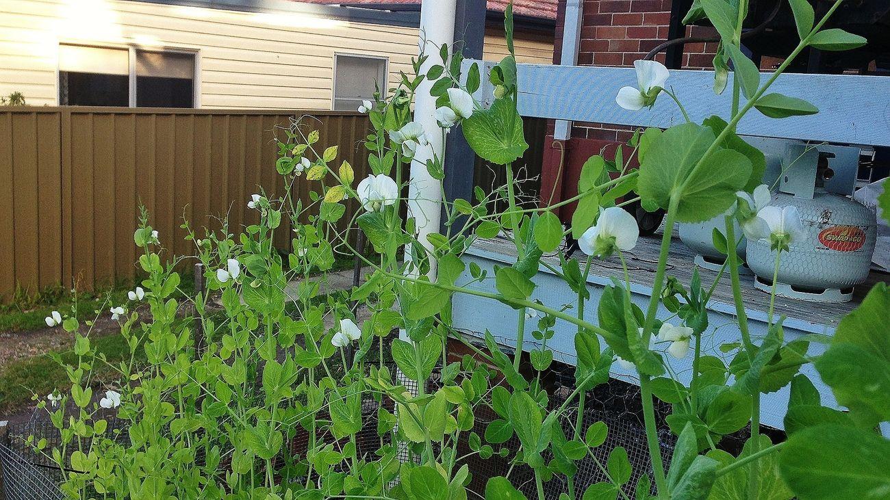 'climbing snow peas' Home Grown