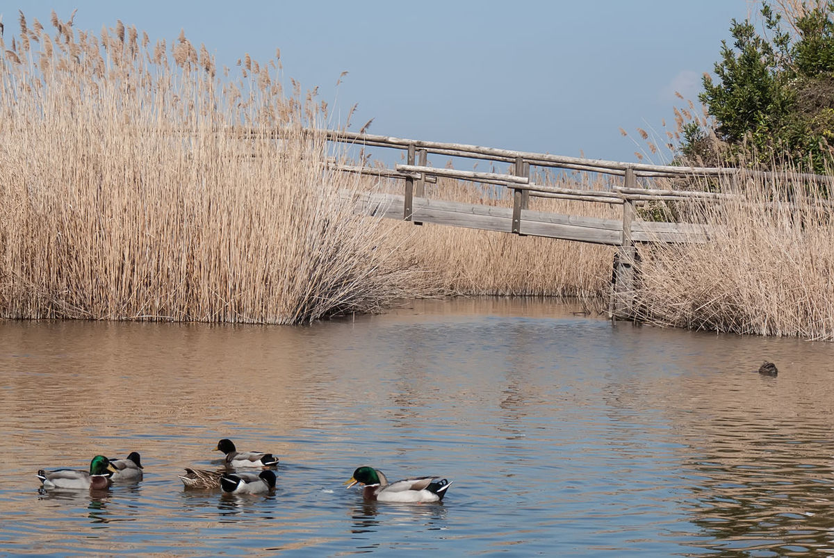Animal Themes Animal Wildlife Animals In The Wild Beauty In Nature Bird Dry Plant On Leak Ducks Ducks At The Lake Floating On Water Flock Of Birds Lake Massaciuccoli Nature No People Oasis Park Outdoors Pond Life Rushes Sky Travel Destinations Water Wood Bridge