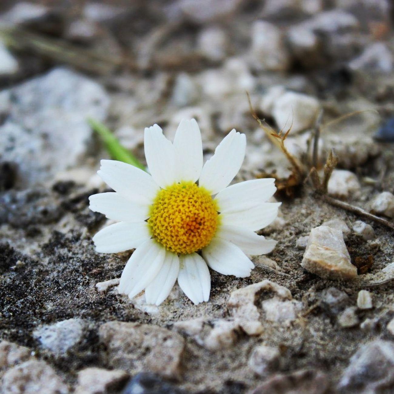 Flower Palombara Sabina