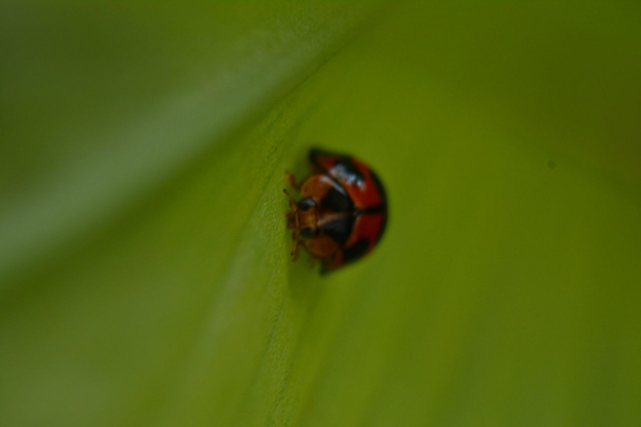 animals in the wild, insect, animal themes, one animal, green color, nature, leaf, ladybug, close-up, no people, animal wildlife, outdoors, day, tiny, beauty in nature
