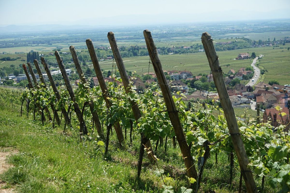 Travel Destinations Nature No People Scenics Tranquility Vineyard Tranquil Scene Green Color Landscape Beauty In Nature Outdoors Agriculture Plant Sky Elsass Frankreich 🇫🇷 Alsace France Riquewihr