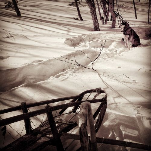 Husky is waiting the beginning of the race. Husky Laika Cold Temperature Snow Winter Sledge Toboggan Frozen Season  Snow Covered Outdoors Dog Day Berengia Kamchatka No People Working Animal Waiting Festival Sepia