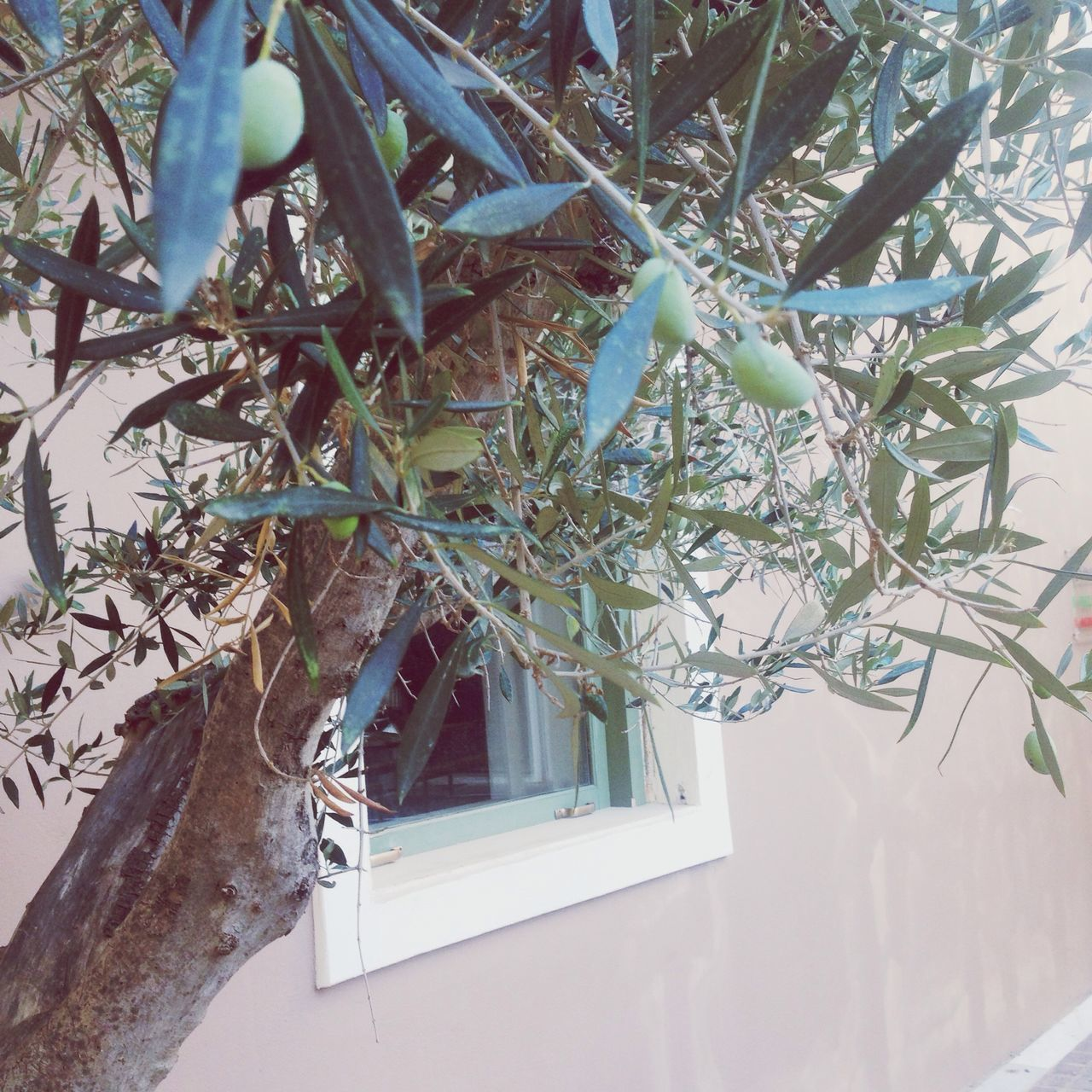 Growth Plant Nature No People Tree Branch Day Close-up Beauty In Nature Olive Tree Greece