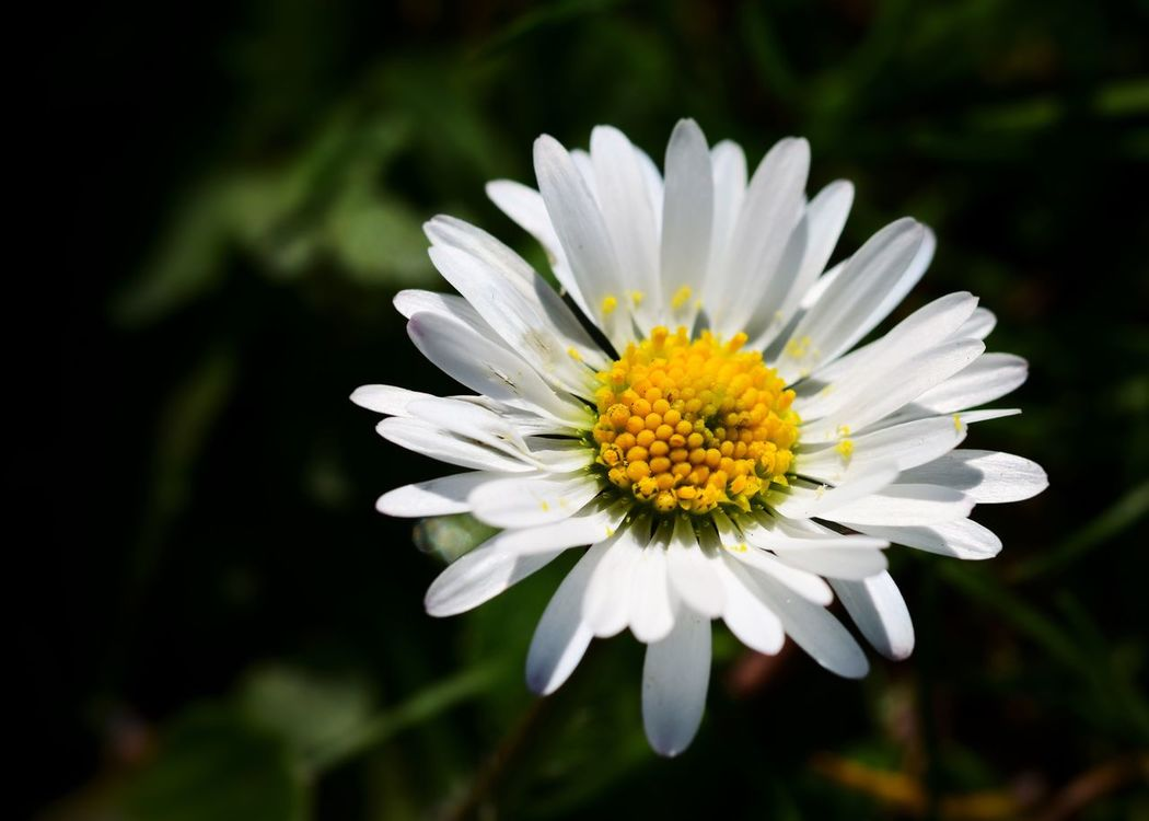 Flower Fragility Nature Beauty In Nature Petal Freshness Growth Flower Head Close-up Blooming Plant No People Outdoors Day Daisy Yellow White Petals