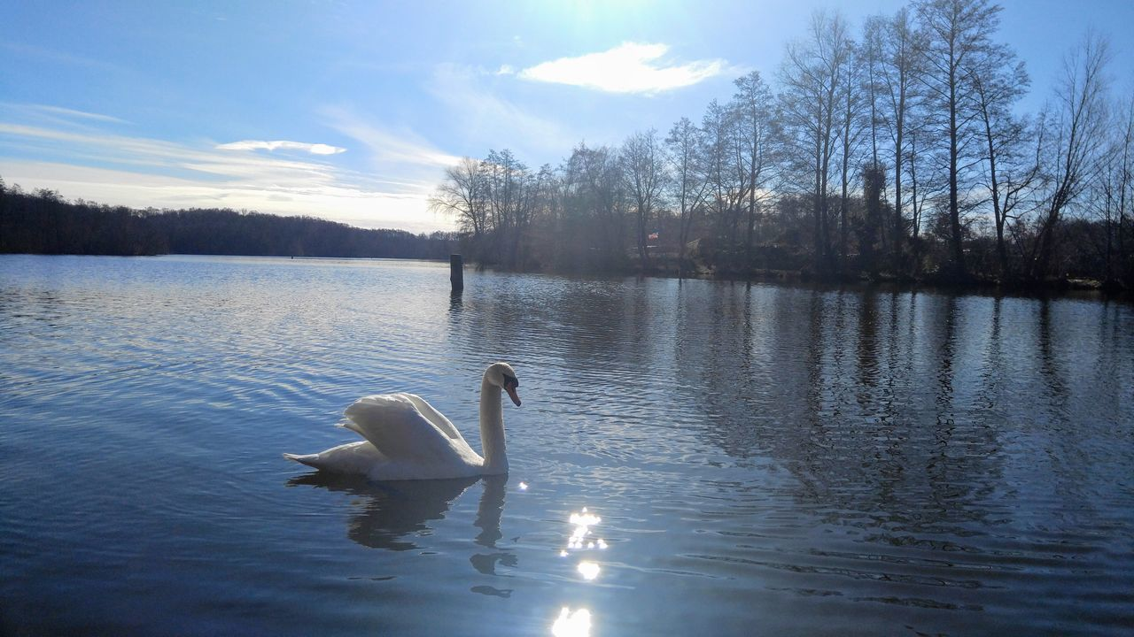 Animal Wildlife Animals In The Wild Beauty In Nature Day Lake Nature Nature Nature_collection No People Outdoors Sky Sunlight Swan Swans Water