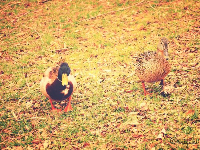 couple. Duck Couple Birds Sapporo Urban3