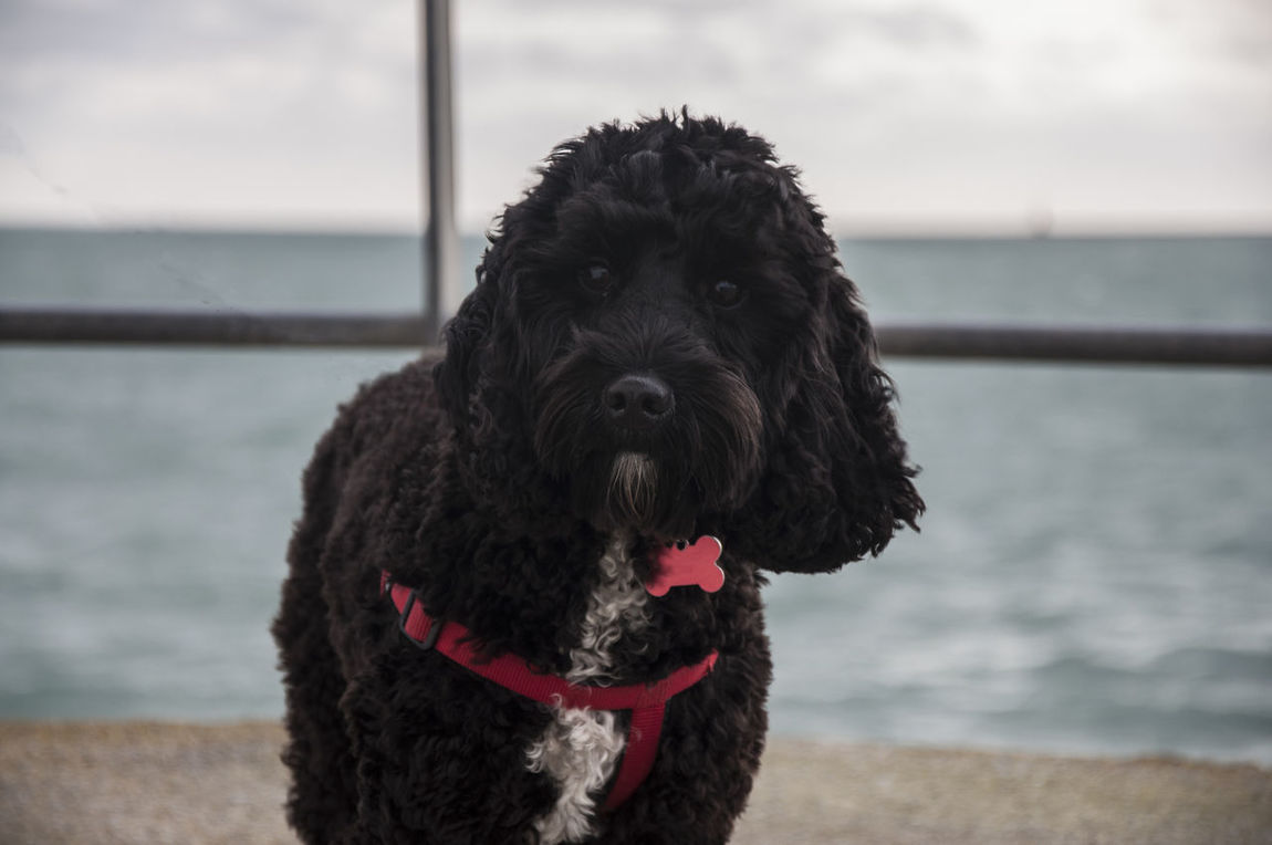 Animal Animal Themes Black Cockapoo Cocker Spaniel  Cockerdoodle Curiosity Depth Of Field Dog Domestic Animals Fur Mammal One Animal Outdoors Pets Poodle Portrait Sea Spoodles Water Zoology