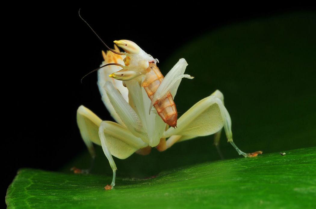 Mealtime Black Background Animal Themes One Animal Close-up Insect Macro Mantis Animal Mantis Eating Mantisgram Orchid Mantis