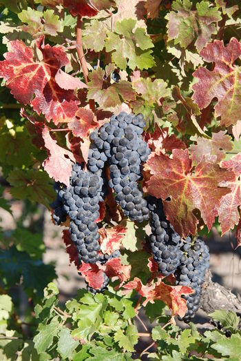 Cabernetsauvignon Crushtime Harvest Time NapaValley Napavalleytrailroad OakvilleCA Ripe Fruit Winegrapes