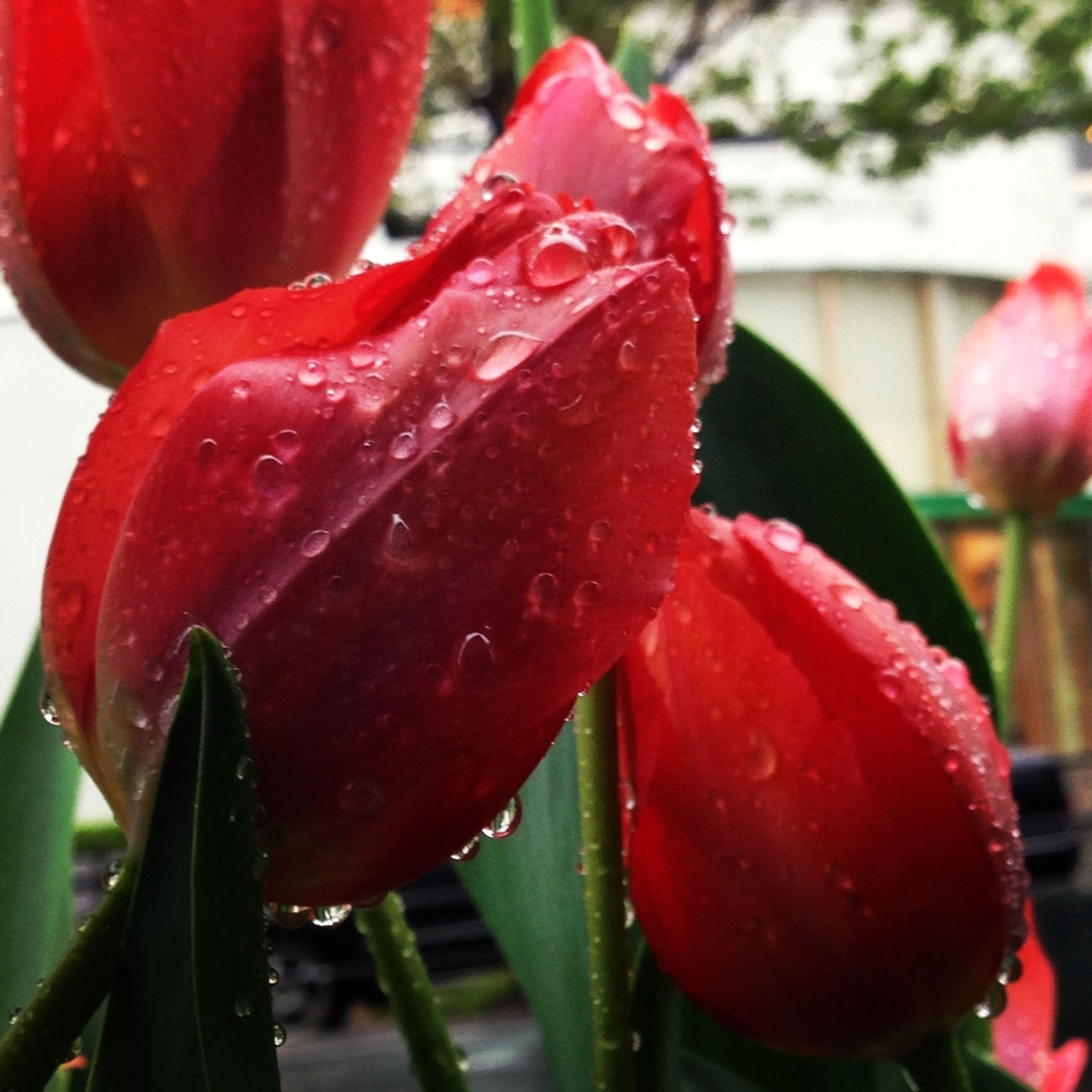 flower, freshness, petal, drop, flower head, growth, fragility, close-up, water, beauty in nature, wet, focus on foreground, nature, red, plant, dew, blooming, single flower, in bloom, tulip