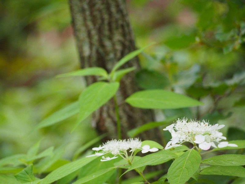 今日も雨ですね… 好きな場所 山紫陽花 あじさい Flower Natural マイナスイオン EyeEm Nature Lover Flower Collection EyeEm Best Shots EyeEm Gallery
