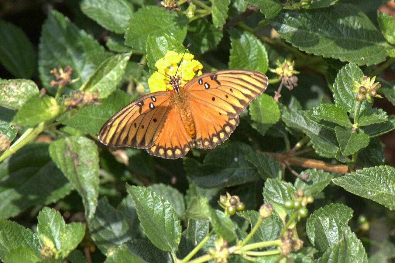 Butterfly Hearne Tx