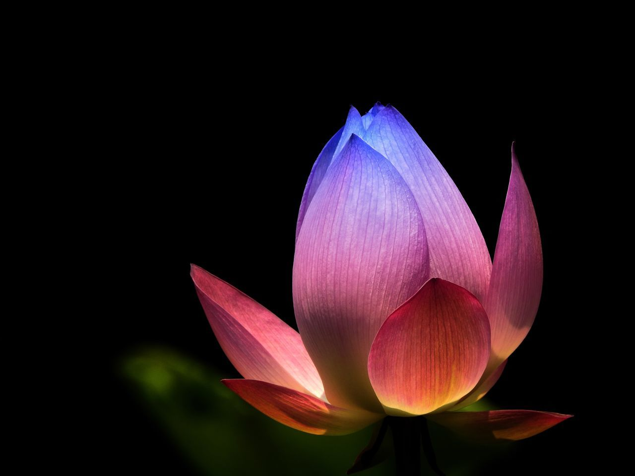 Flower Petal Fragility Flower Head Beauty In Nature Freshness Nature Growth Plant Close-up Lotus Water Lily Blooming Black Background No People Studio Shot Lotus Pink Color Water Lily Outdoors Day