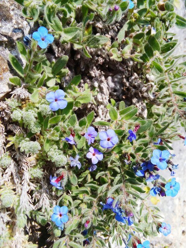 Ancient City Mediterranean Flowers Flower