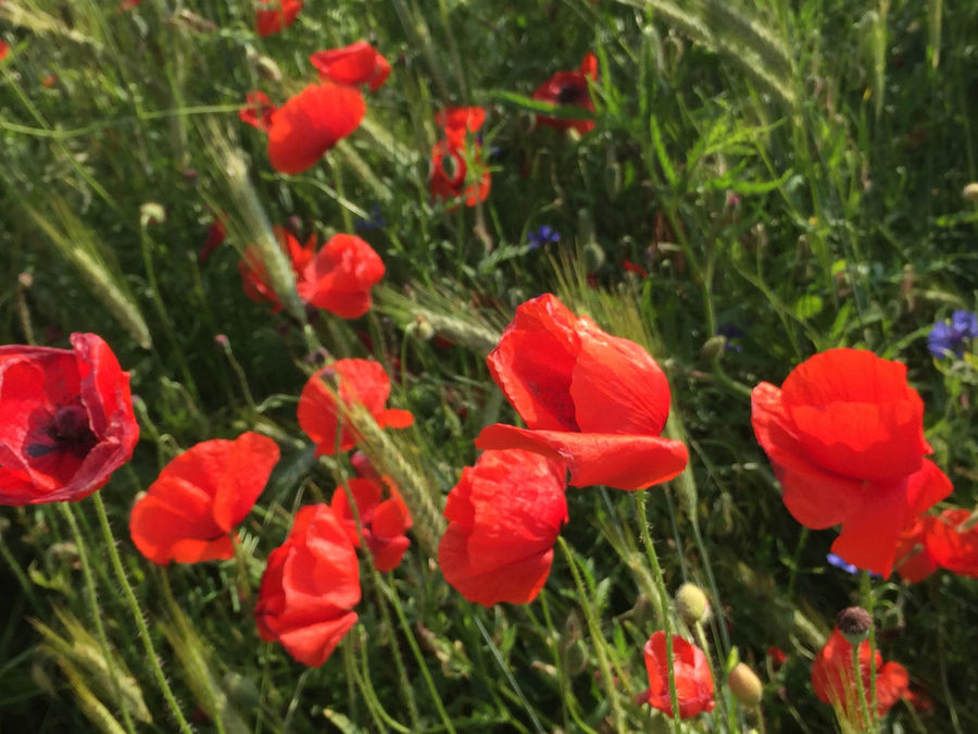 Beauty In Nature Blooming Day Field Flora Flower Flower Head Fragility Freshness Grass Growth Nature No People Outdoors Petal Plant Poppy Red Spring