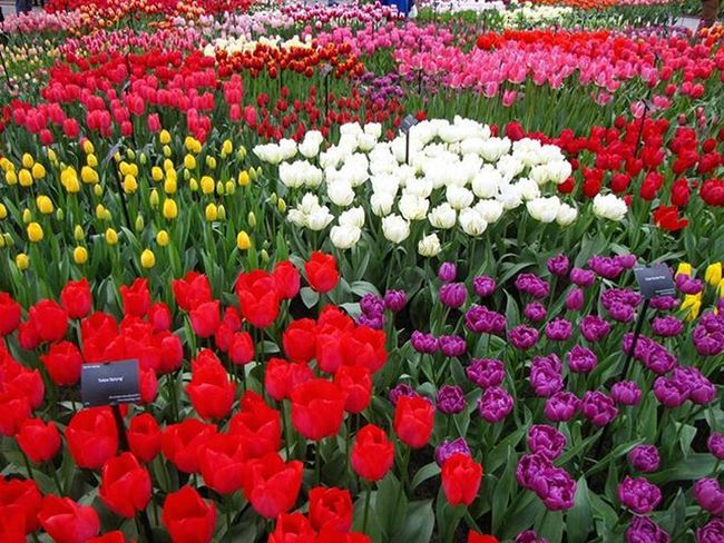 Tulpes Tulips Tulipfields Tulpjulauki Netherlands Niderlande Loves_life Versatile_photo_ Best_free_shot Fotofantastics_flowers_ Loves_flowers_ Nature_wizards Bestnine Naturephotography Fotocatchers 8marts Pavasaris Spring Your Amsterdam