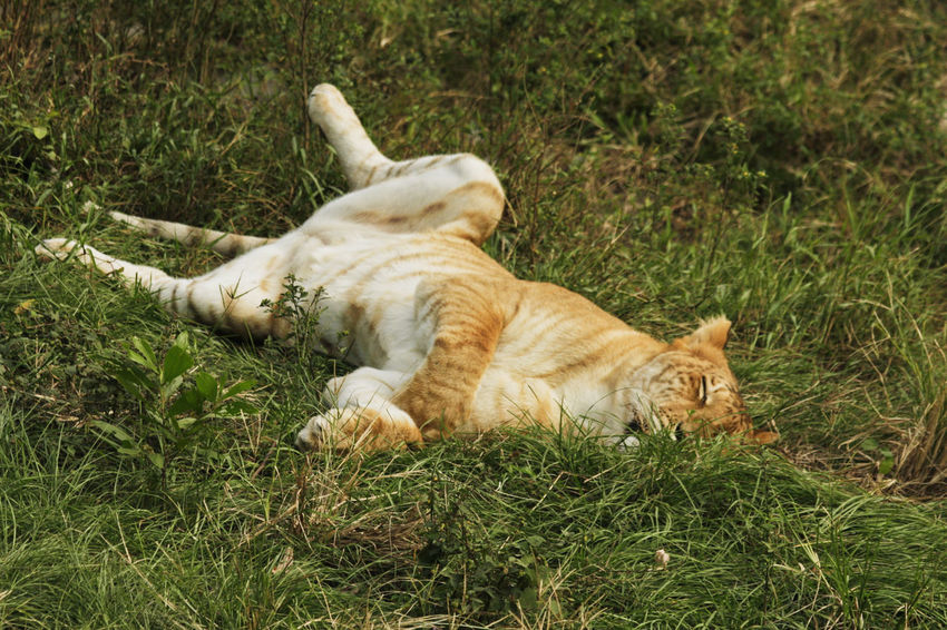 Liger Animal Themes Day Domestic Animals Domestic Cat Eyes Closed  Feline Grass Lion Tiger Lion Tiger Hybr Lying Down Mammal No People One Animal Outdoors Pets Relaxation Sleeping