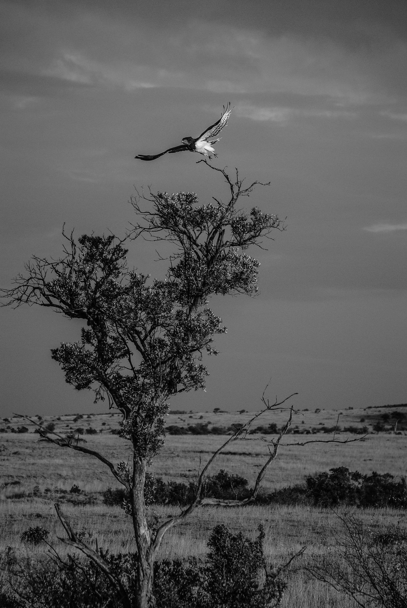 Snake eagle, Maasai Mara. Animal Wildlife Wildlife Wildlife & Nature Wildlifephotography Maasai Mara Kenya Africa Travel Photography Travel Nikon Nikonphotographer Outdoors Animals In The Wild Blackandwhite Black & White Monochrome Landscape Nature Birdofprey Eagle Birdinflight