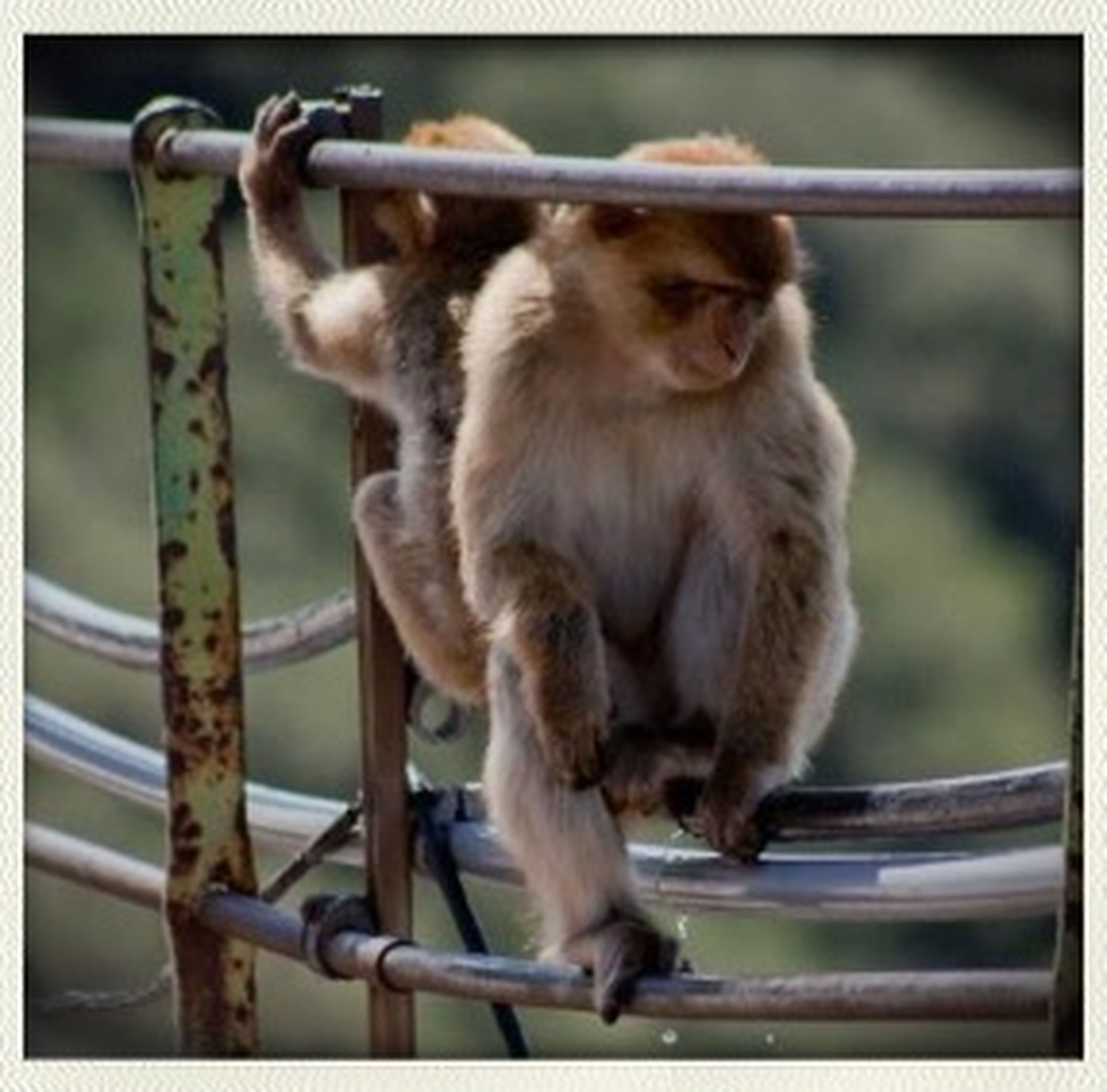 animal themes, wildlife, one animal, mammal, animals in the wild, monkey, focus on foreground, fence, animals in captivity, zoo, full length, close-up, railing, metal, sitting, day, wood - material, outdoors, primate, squirrel