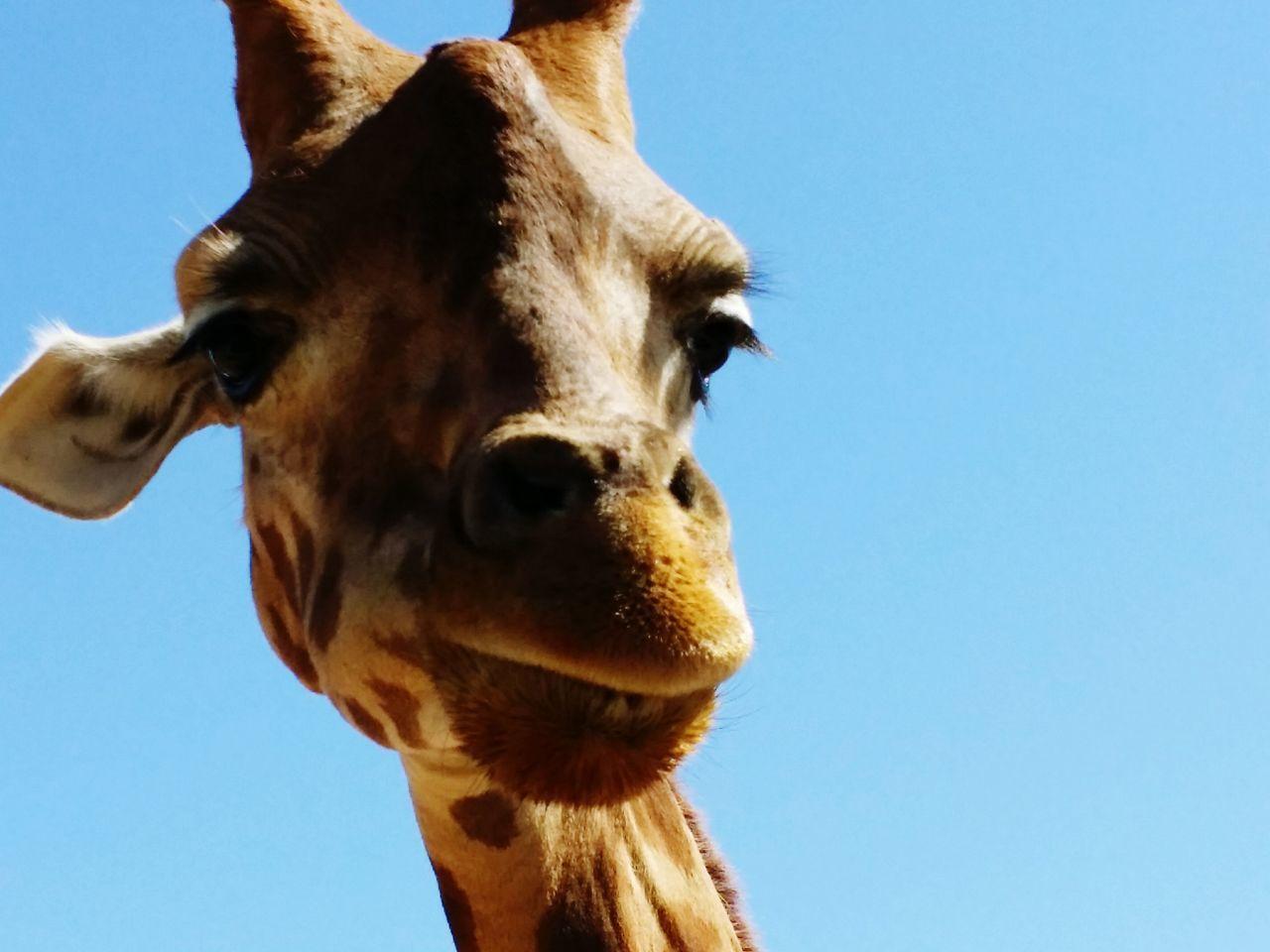 Beautiful stock photos of lustige giraffe, Animal Body Part, Animal Head, Animal Themes, Animal Wildlife