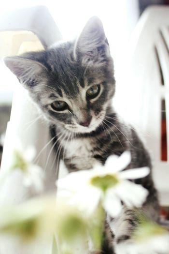 Ceniza Cat Cats Margaritas Feline