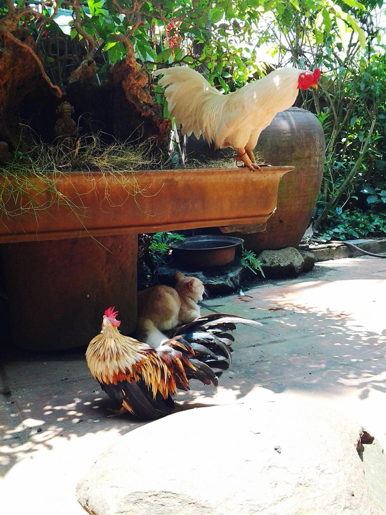Chs bố mẹ cứ thích nuôi gà 🐔 nhiều lúc đang cần yên tĩnh mà nó cứ gân cổ lên gáy ý 😠💢 đm chỉ muốn chạy xuống bẻ cổ nó thôi 👊👊👊 ghét 💨 Gà Serama