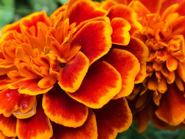 Flower Petal Beauty In Nature Flower Head Nature Freshness Fragility Growth Orange Color No People Close-up Blooming Plant Outdoors Day