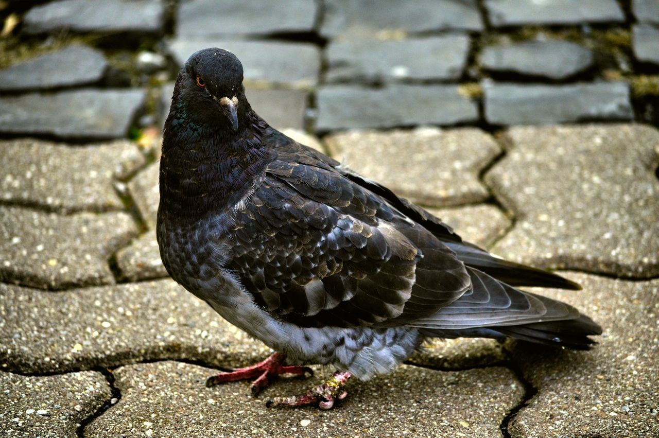 Animal Themes Animal Wildlife Animals In The Wild Beauty In Nature Bird Close-up Day Nature No People One Animal Outdoors Pigeon Pigeon Bird  Pigeon Pose Pigeonslife