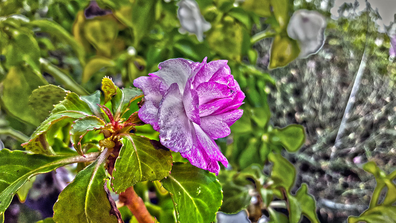 Beauty In Nature Blooming Close-up Day Drop Flower Flower Head Fragility Freshness Green Color Growth Hdr_Collection Leaf Nature No People Outdoors Petal Plant