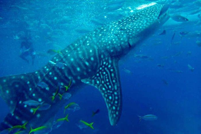 Swimming with whale sharks Philippines Eyeem Philippines Cebu Whaleshark Shark Swimming Travelling Nature Underwater Underwater Photography