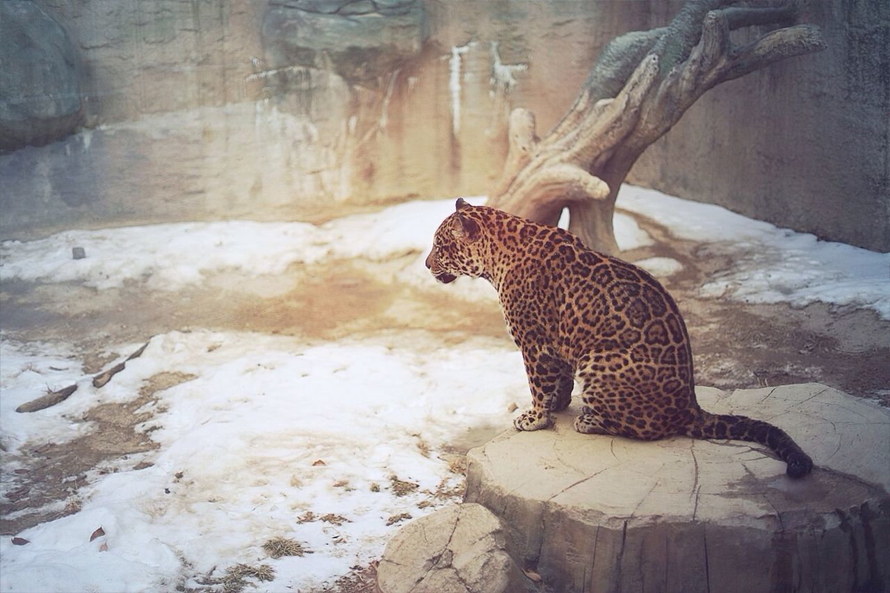 Beautiful stock photos of jaguar, Animal Themes, Animals In Captivity, Animals In The Wild, Beauty In Nature