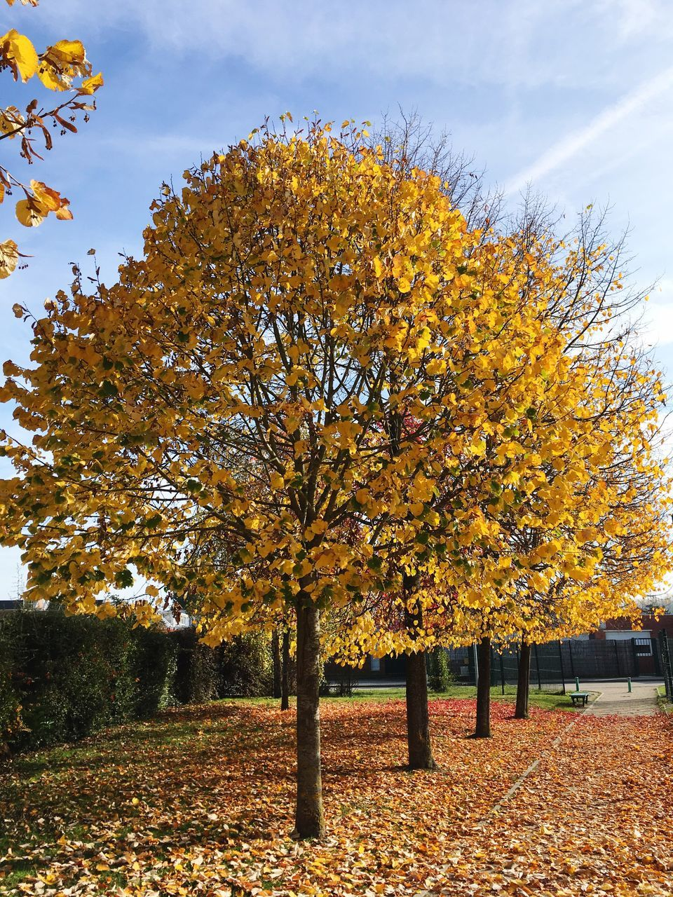 autumn, change, tree, leaf, nature, beauty in nature, outdoors, orange color, no people, yellow, tranquility, day, growth, sky, park - man made space, scenics, maple, branch, fragility, close-up