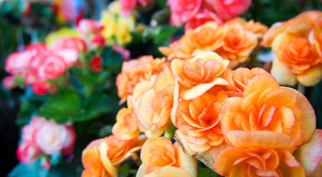 Orange begonia flowers in the garden Beauty In Nature Begonia Blooming Blossom Bouquet Bright Celebration Colorful Day Floral Flower Flower Head Freshness Garden Love Nature No People Orange Color Ornaments Petal Petals Pink Plant Roses Valentine's Day