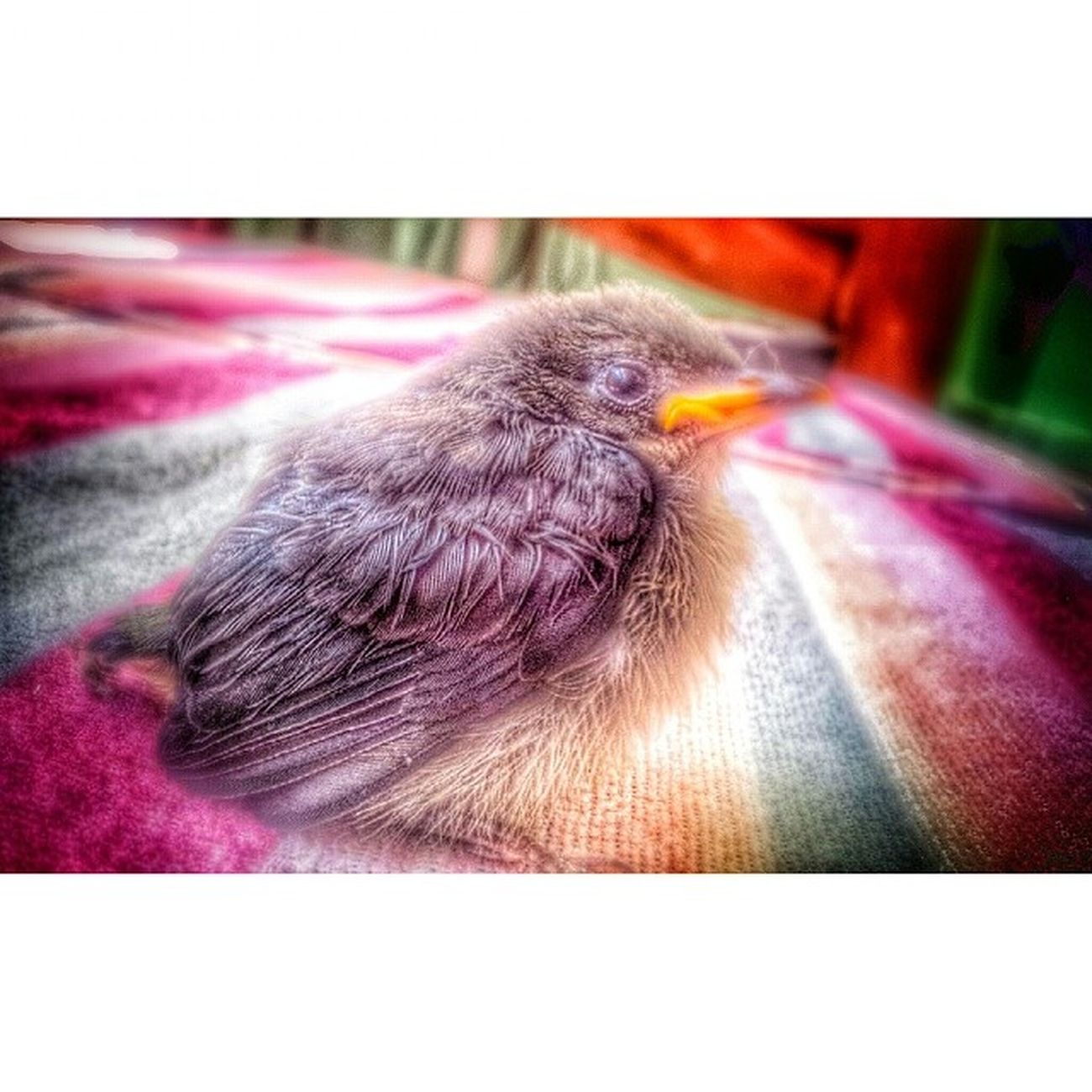Fledgling. Manang saw this cute and minute creature left behind by its mother at the balcony. So she took it and eventually allowed the fledgling to fly in a safer place coz we got a bunch of feline and canine patrolling around the crib :) Bird Fledgling Aves Ibon
