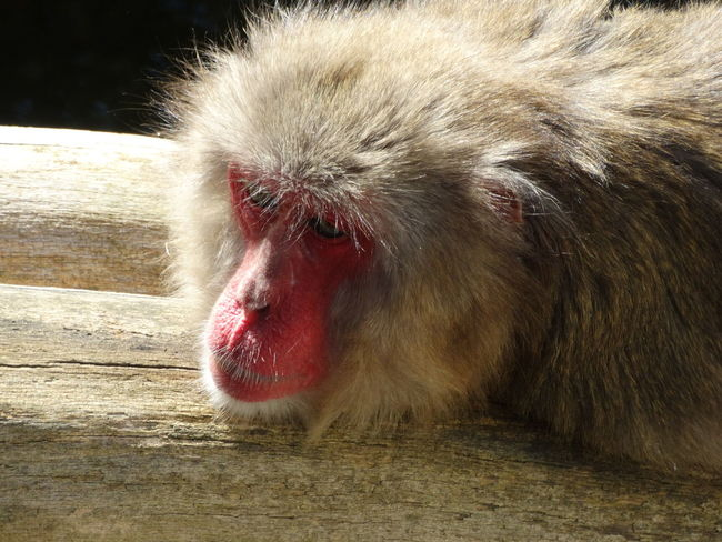 Monkey Monkey Business Monkey Face Affen Animal Themes Chilling Relaxing One Animal Mammal Close-up Red Face Red Face Monkey Zoo Relax Abhängen Cute Sweet Beauty In Nature