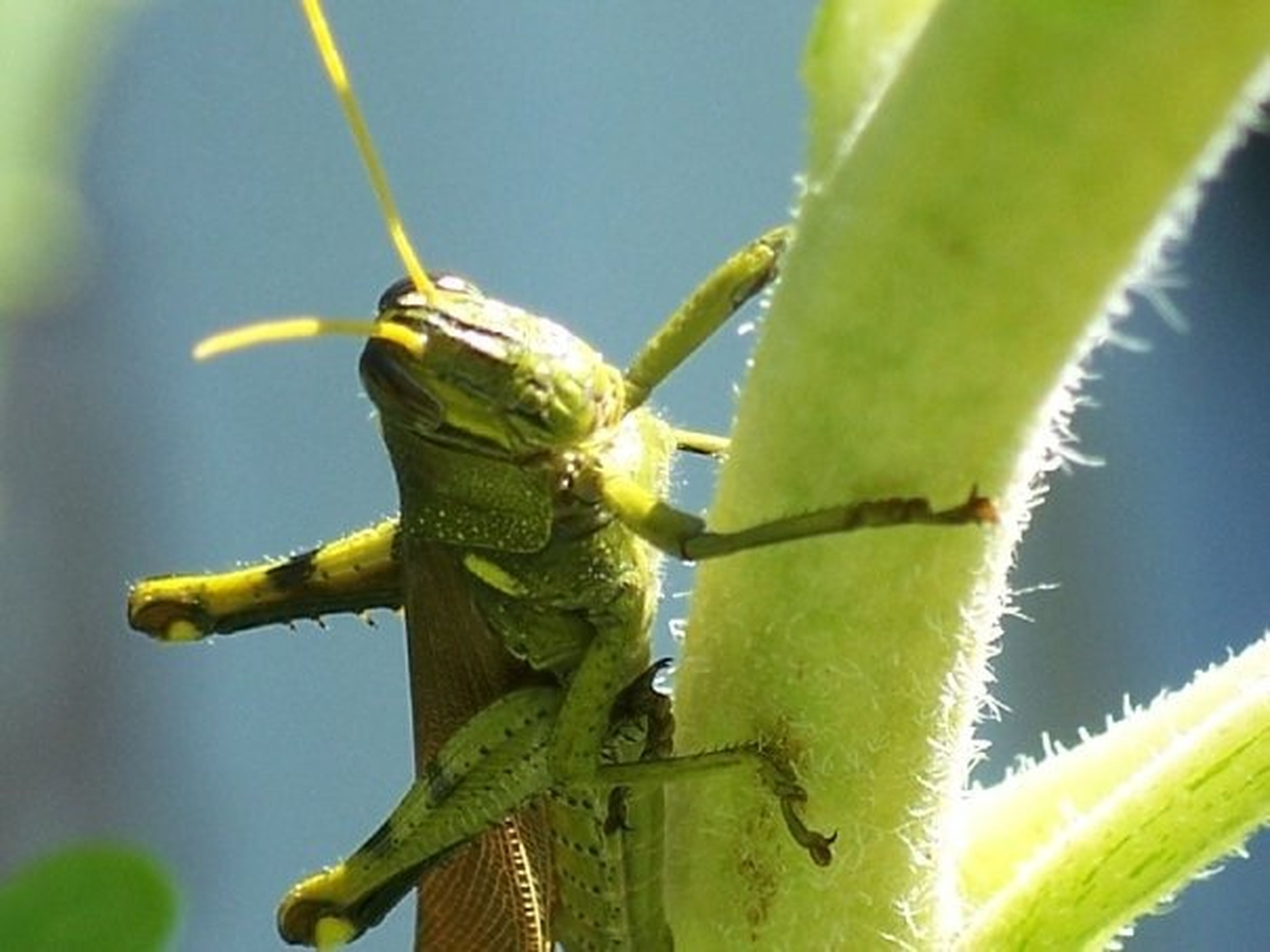 animals in the wild, animal themes, one animal, wildlife, green color, focus on foreground, close-up, insect, nature, reptile, selective focus, outdoors, day, yellow, no people, leaf, animal wildlife, full length, perching, lizard