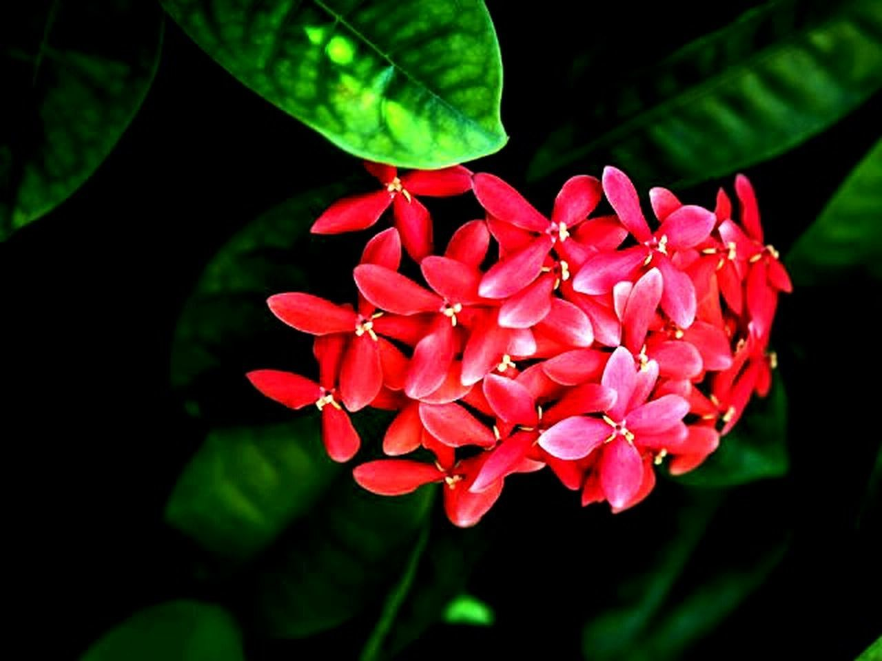 flower, beauty in nature, petal, growth, nature, fragility, freshness, red, leaf, flower head, close-up, plant, no people, outdoors, day, blooming
