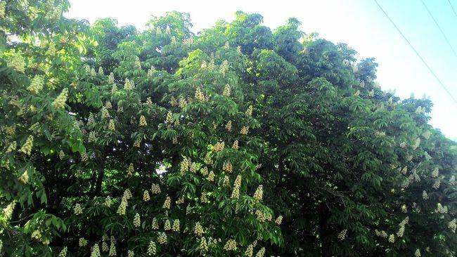 Trees Flower Chestnut