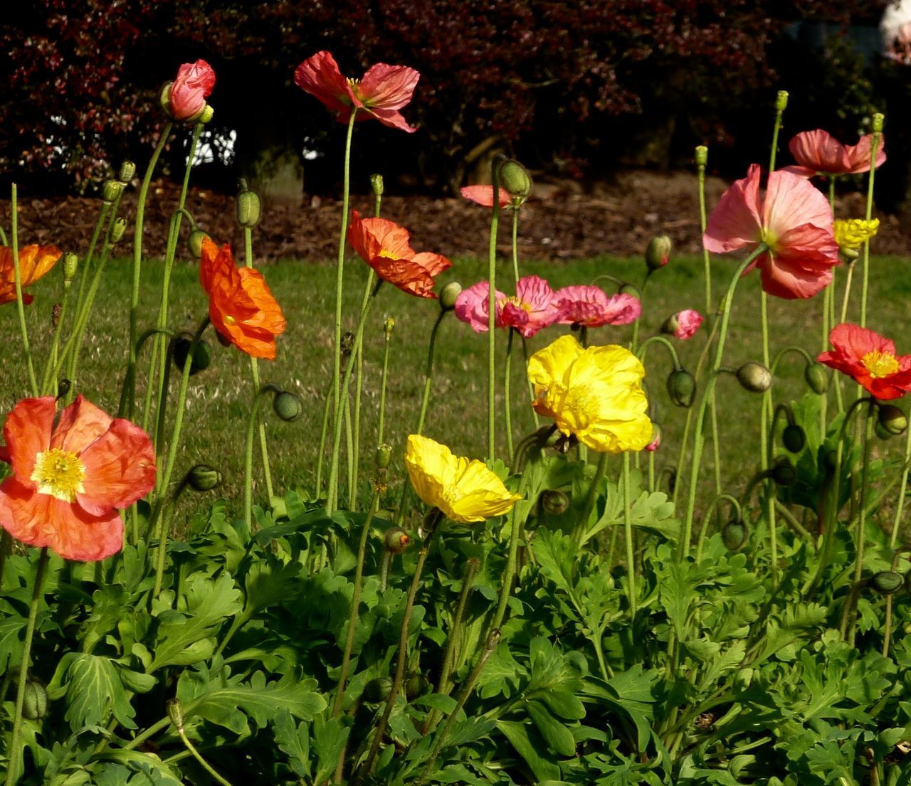 flower, growth, plant, petal, nature, freshness, fragility, no people, beauty in nature, blooming, poppy, outdoors, flower head, day, close-up
