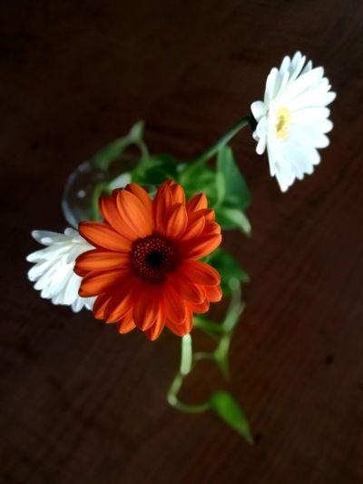 Gerbera Flower Plant Flower Head Beauty In Nature No People Close-up EyeEm Ready