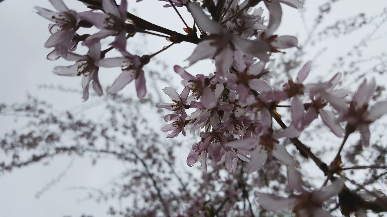 Flower Blossom Branch Tree Springtime Nature No People Sky Flower Head Freshness Branches And Sky Grey Sky Day Low Angle View Budding Tree Gray Background Pink Flowers Spring