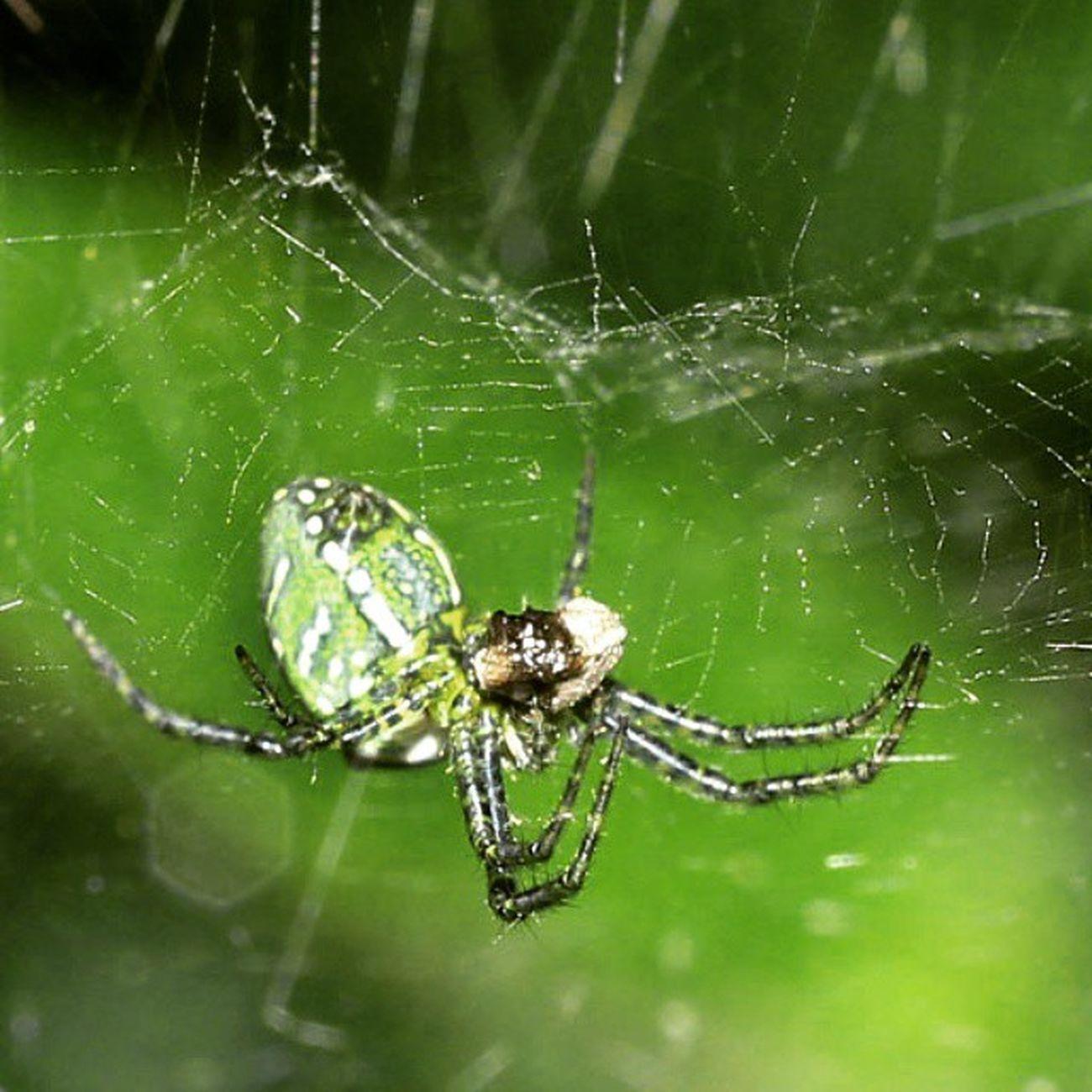 Hijau menggantung. Spider Spiderworld Ig_spiders Ig_spider labalaba instagaruda_macro macro_x macro_captures