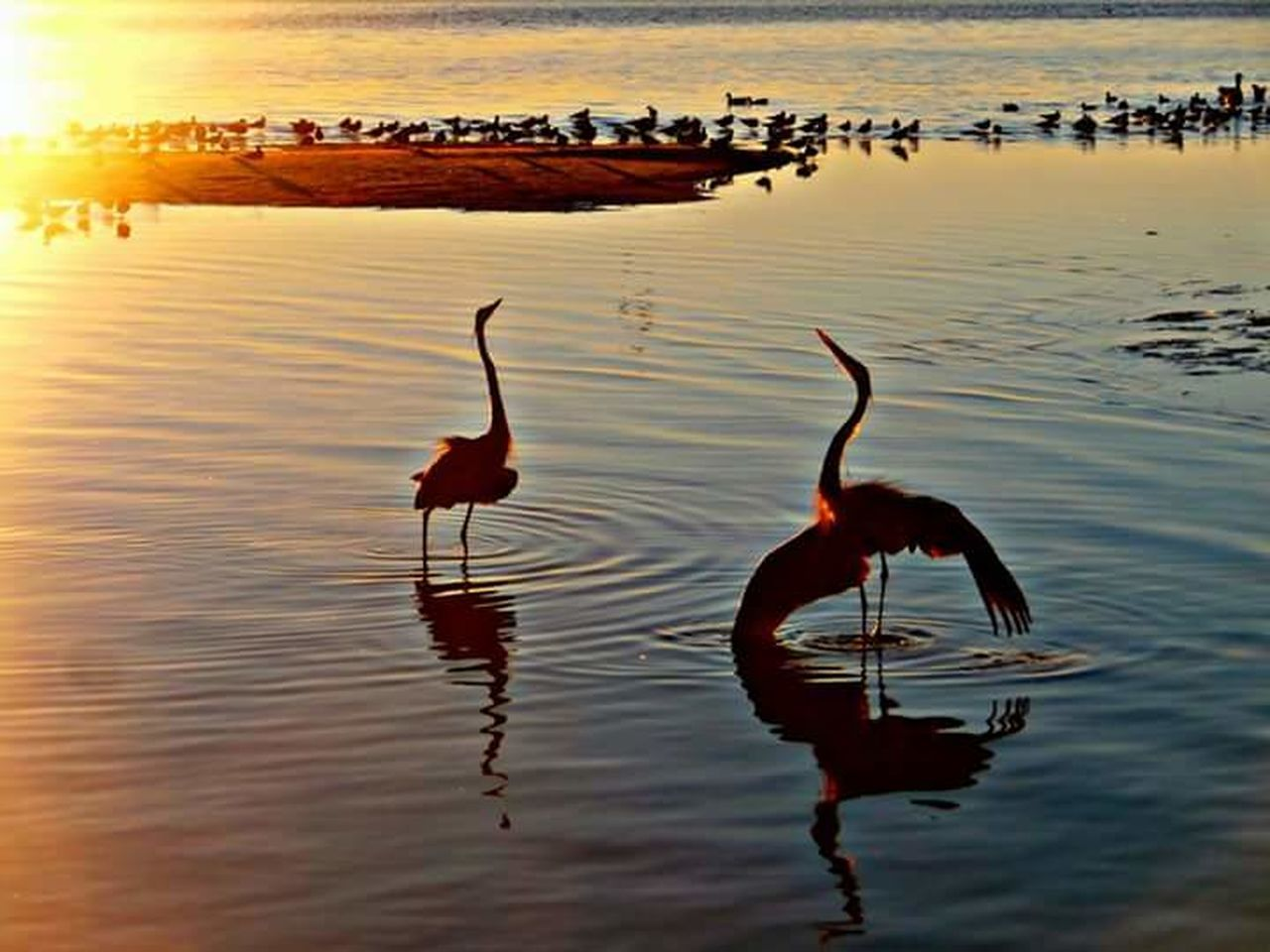 reflection, water, lake, animals in the wild, sunset, bird, animal themes, no people, waterfront, outdoors, nature, animal wildlife, beauty in nature, flamingo, day, swimming
