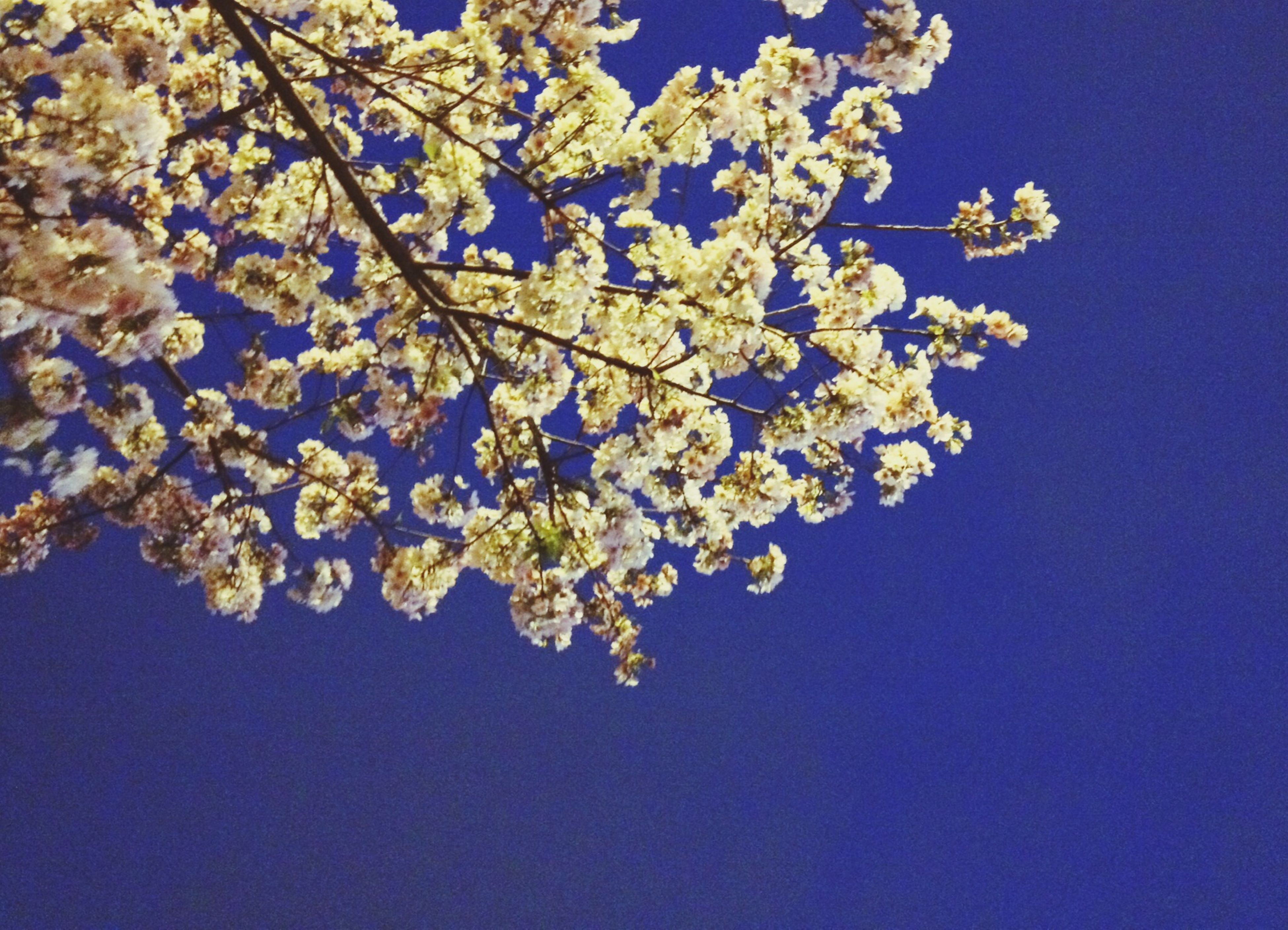 flower, freshness, low angle view, branch, growth, fragility, tree, blue, beauty in nature, nature, cherry blossom, clear sky, blossom, blooming, cherry tree, in bloom, springtime, white color, petal, day
