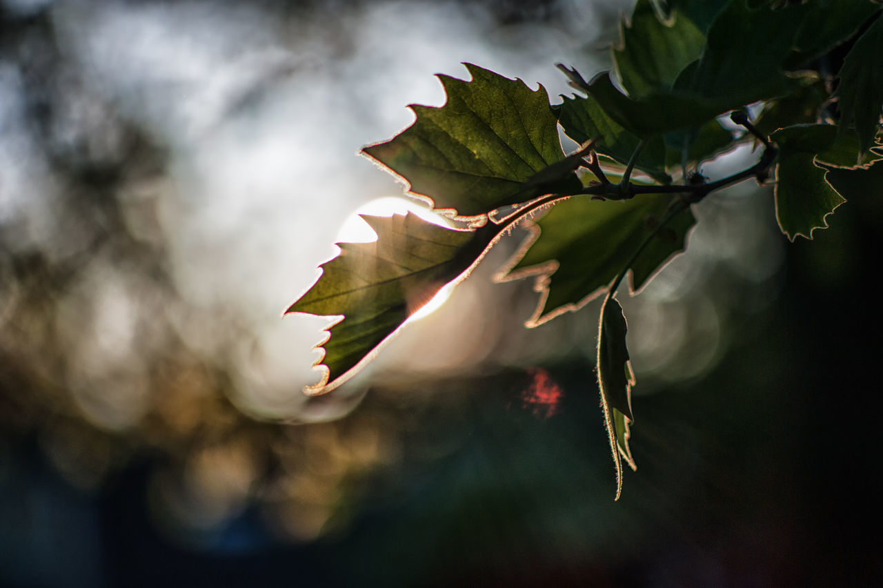 Leaf with flare and bokeh Beauty In Nature Bokeh Branch Close-up Day Evening Flower Focus On Foreground Freshness Green Color Growth Leaf Light Nature No People Outdoors Plant Sunray Tree