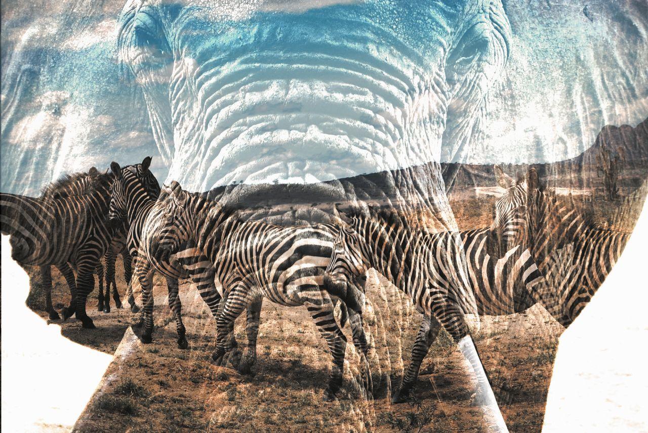 Tsavo East, Kenya. Experimental things with my shots :) Experimental Photography Double Exposure Zebra Elephant Safari Animals Animals In The WildTravel Safari Beauty In Nature Africa Kenya Travel Destinations VSCO Animals Nature Animal Wildlife EyeEm Best Shots EyeEm Best Edits Tsavo Close-up African Elephant