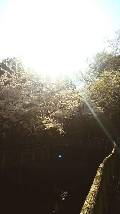 Cherry Blossoms Japan Sunshine Flowers Spring Lovelyday Happy Taking Photos