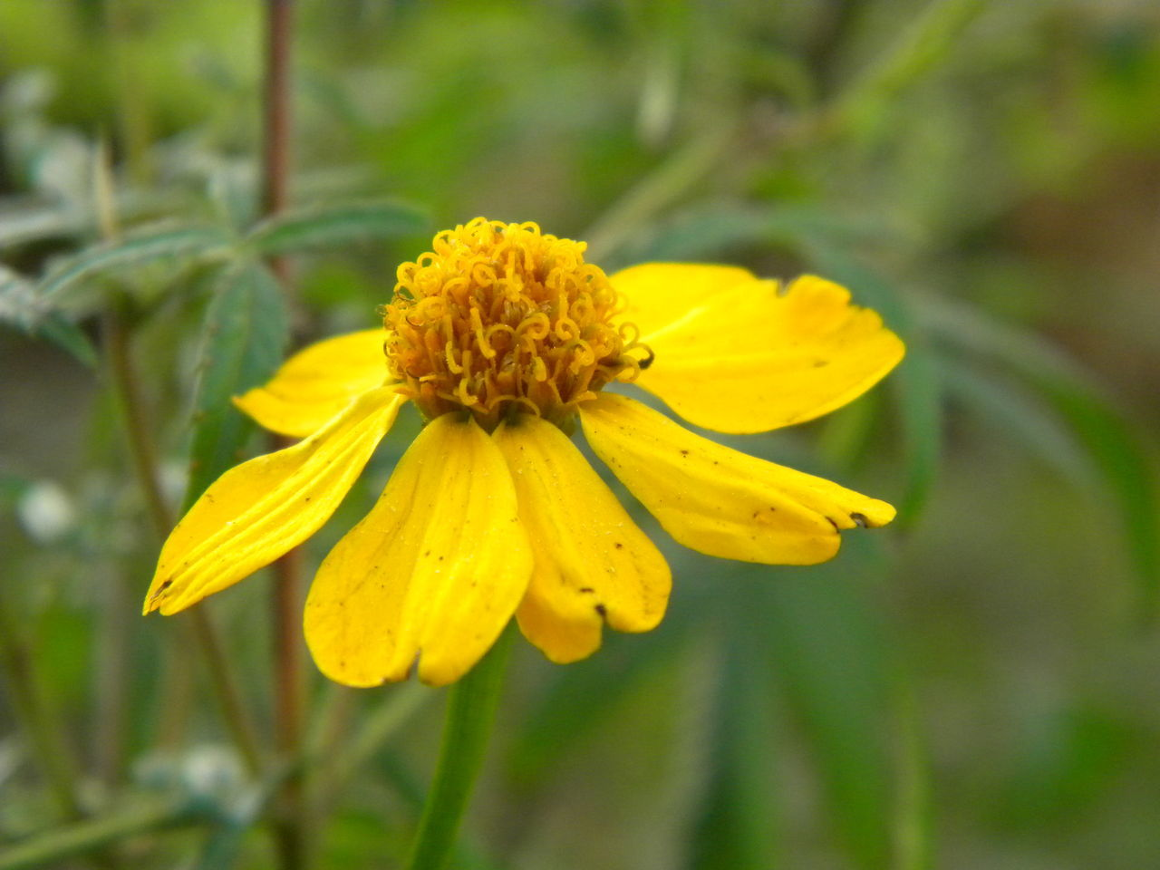 flower, yellow, petal, growth, nature, fragility, plant, freshness, beauty in nature, flower head, blooming, no people, outdoors, close-up, day
